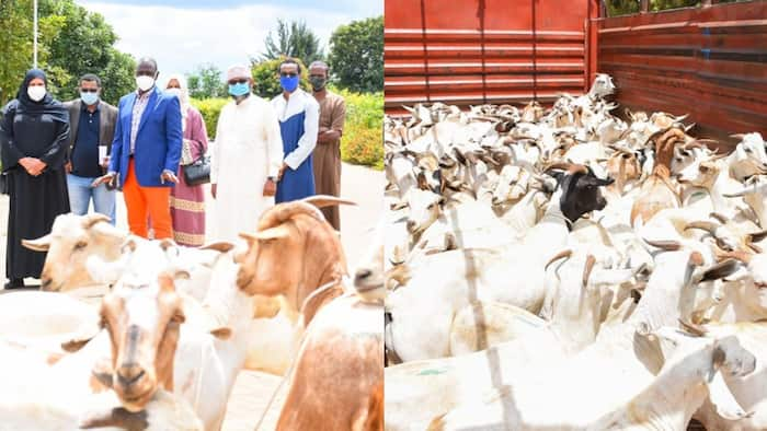 William Ruto donates hundreds of goats to Muslim community as Ramadan comes to an end