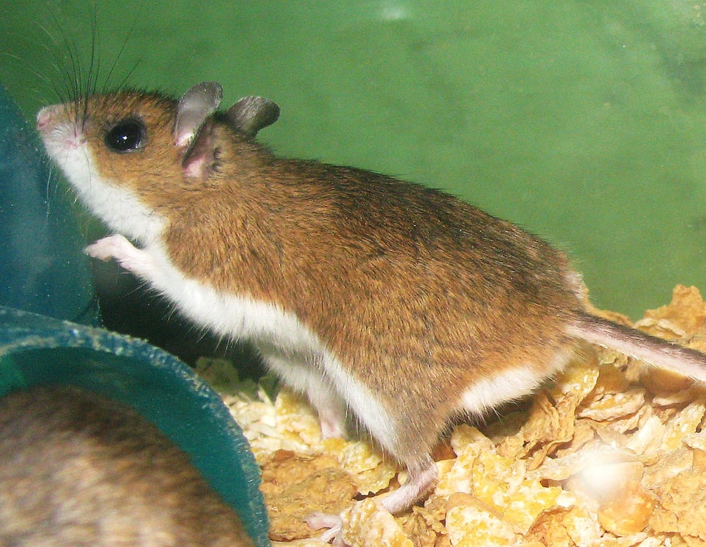 Rats are infecting humans with hepatitis - Researchers