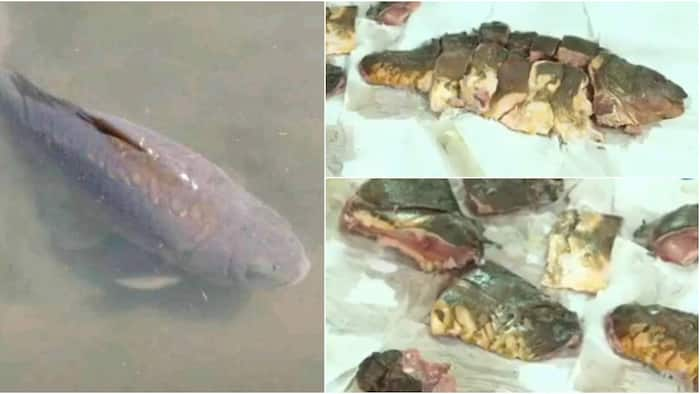 Man who stole 'body' of 22-year-old good luck fish arrested before roasting it