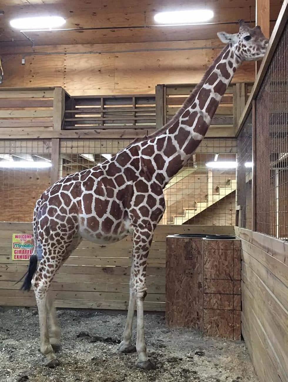 April: Giraffe Who Gave Birth in A Viral Livestream Dies Aged 20
