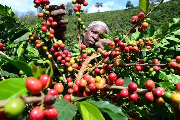 Murang'a man slashes nephew he caught red handed stealing coffee berries at night