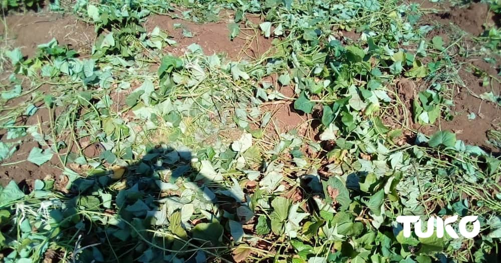 Children in Taita Taveta orphanage stare at hunger after elephants invade farm, destroy food crops