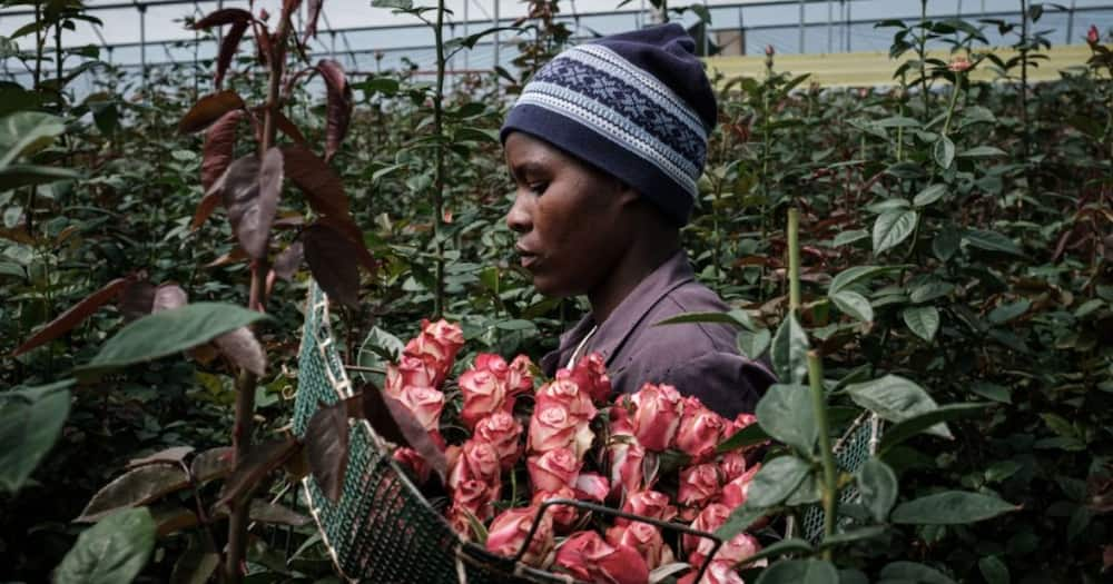 Finlays exits flower business, leaving over 900 people jobless.