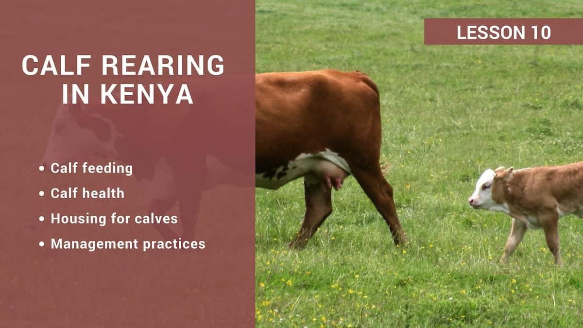 Calf rearing in Kenya ▷ Tuko co ke
