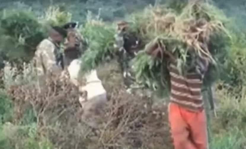 Meet Kiambu man who has responded to God's command to grow bhang on his farm