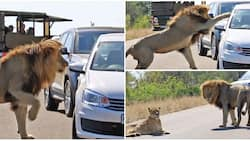 Go away! See scary moment huge lion takes out his frustration on a car after lioness rebuffed him
