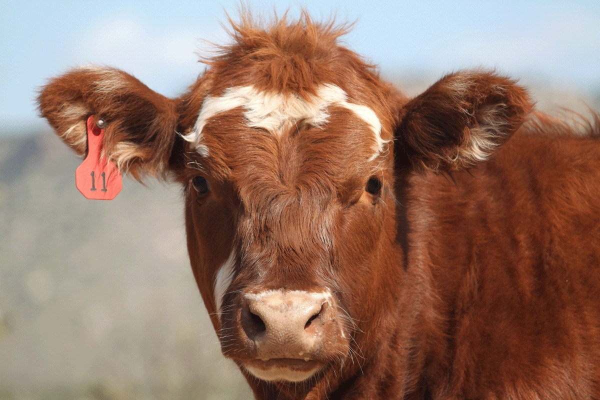 How to manage dairy cows