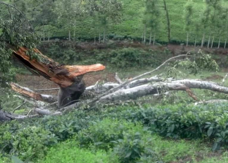 Scare as 100-year-old Mugumo tree falls in Central Kenya