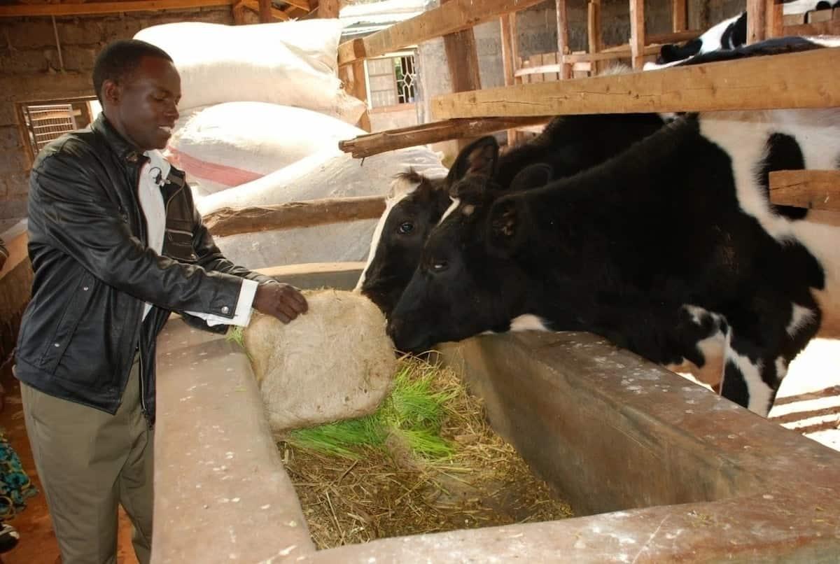 Dairy farm design