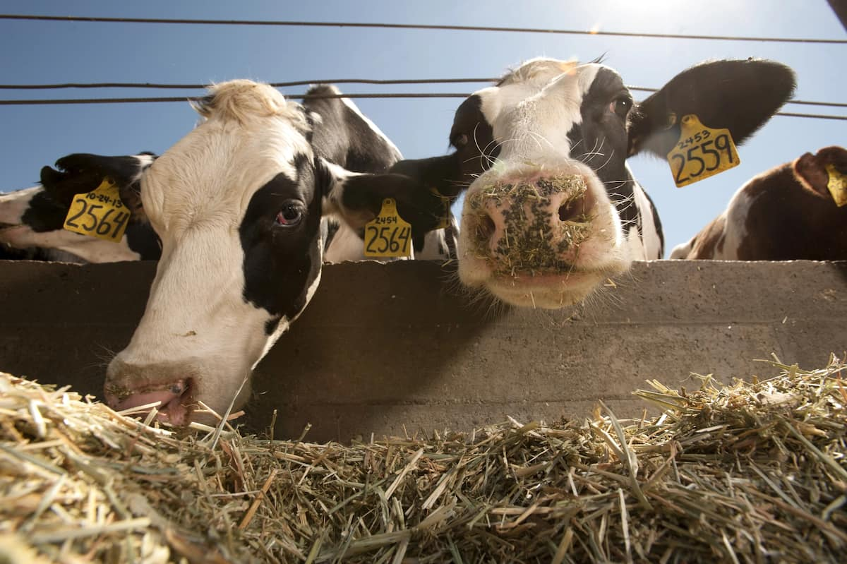 Gestation cycle for cows