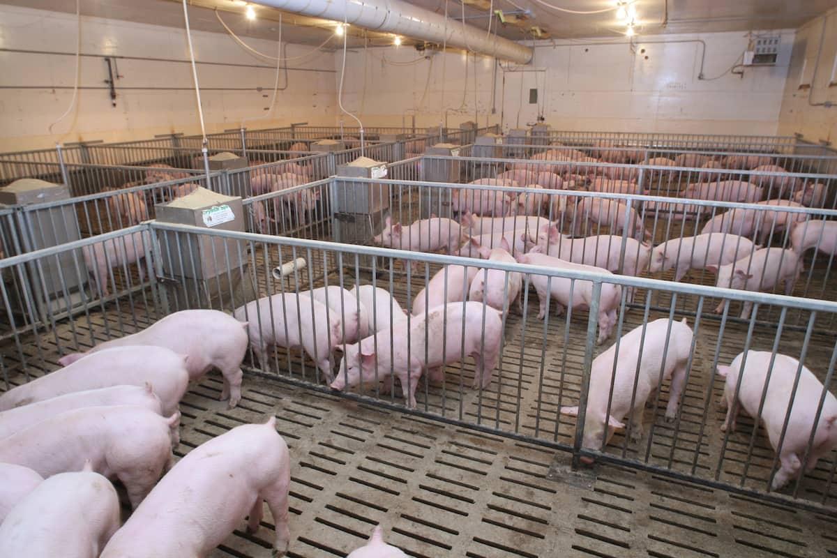 Pig farming in Kenya success stories ▷ Tuko co ke