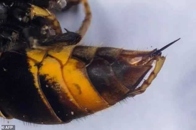 Wheelchair-bound woman, 87, dies after being stung 150 times by swarm of stinging giant hornets