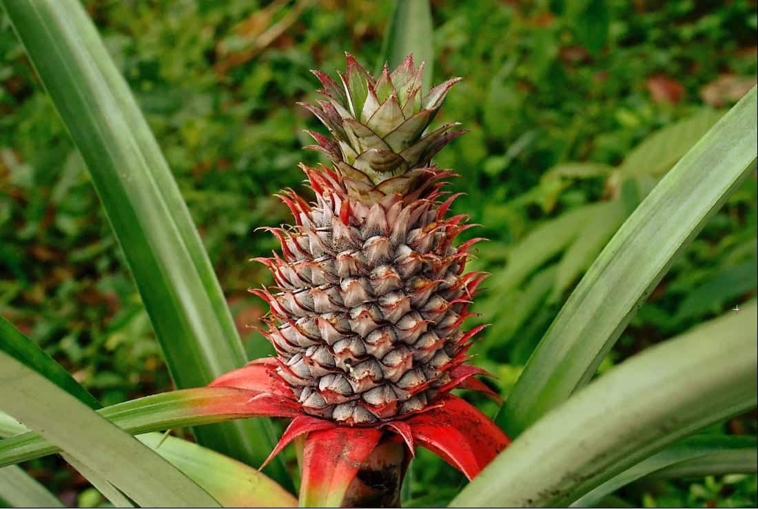 benefits of pineapple (main) health benefits of pineapple pineapple benefits