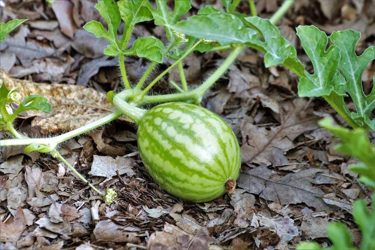 watermelon farming techniques in kenya, watermelon farming business in Kenya, watermelon farming in kenya 2018