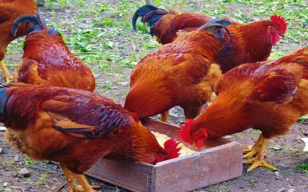 Kienyeji Chicken Prices in Kenya ▷ Tuko co ke