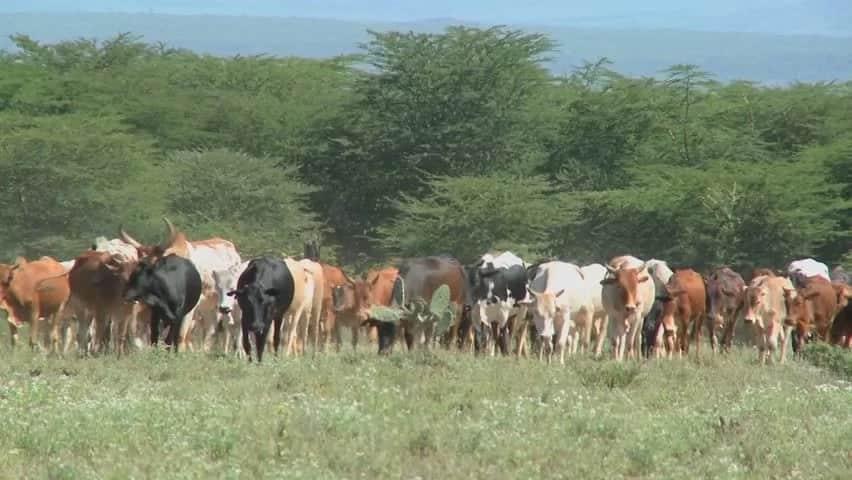 Kenya kando, Tanzania yapiga mnada n'gombe 10,000 kutoka Ruanda na Uganda