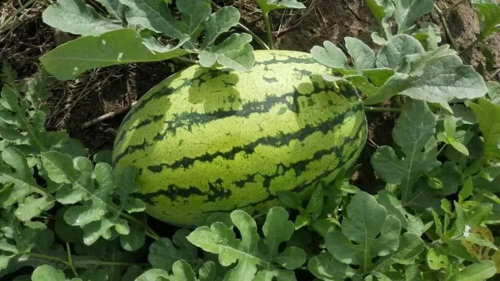 Watermelon fertilizer requirements