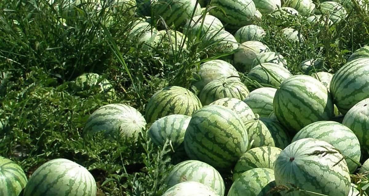 watermelon farming areas in kenya, watermelon, watermelon farming