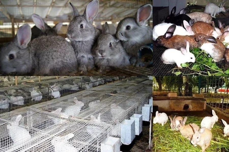 Large scale rabbit farming in Kenya