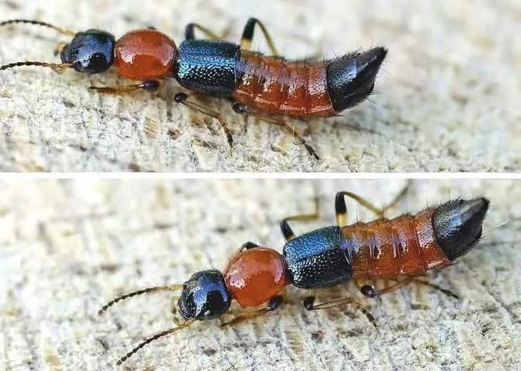 Narrow Bee fly