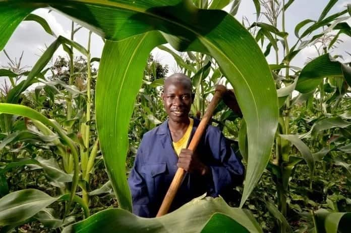 Maize farmers to hold daily demos to push for KSH 3.5 billion payment from NCPB