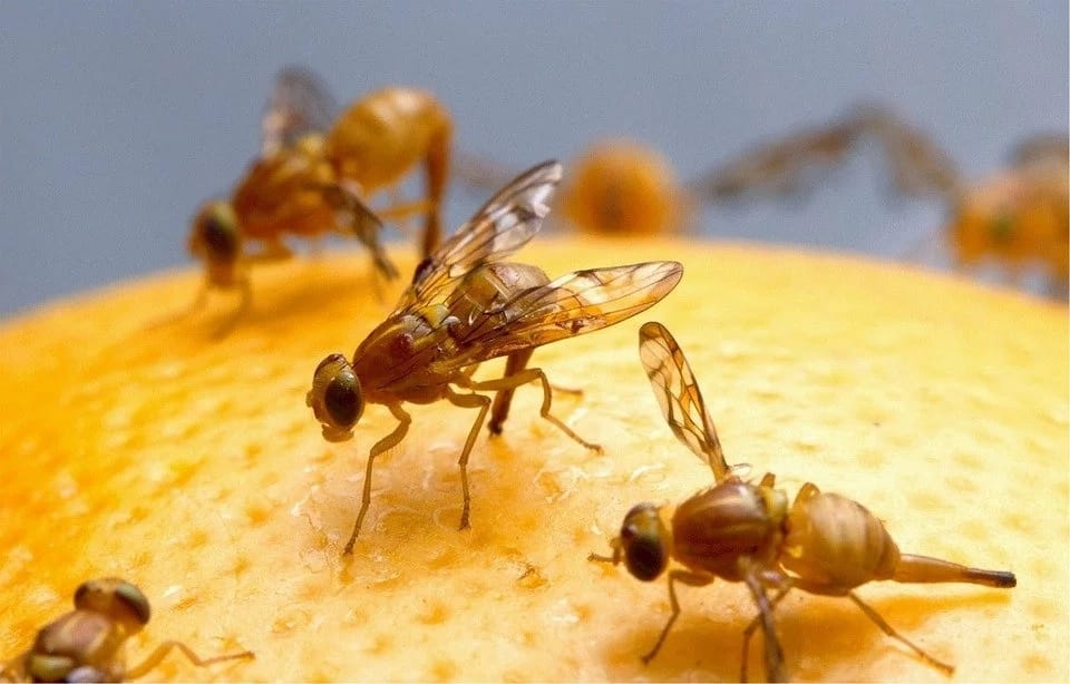How to get rid of fruit flies: Readily available solutions
