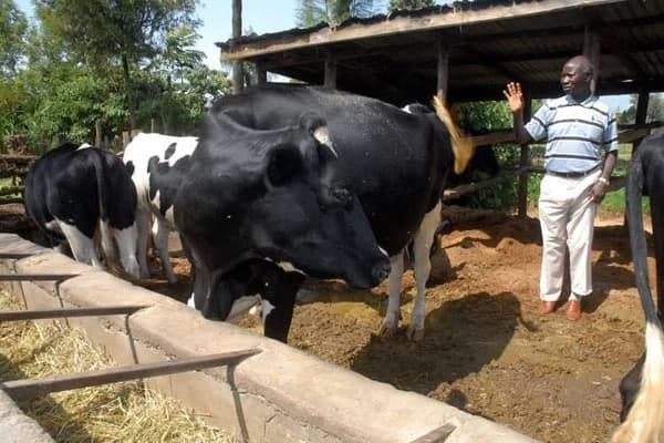 Mr Ndung'u with his dairy cows at his Pokea Dairy Farm in Njoro, Nakuru County