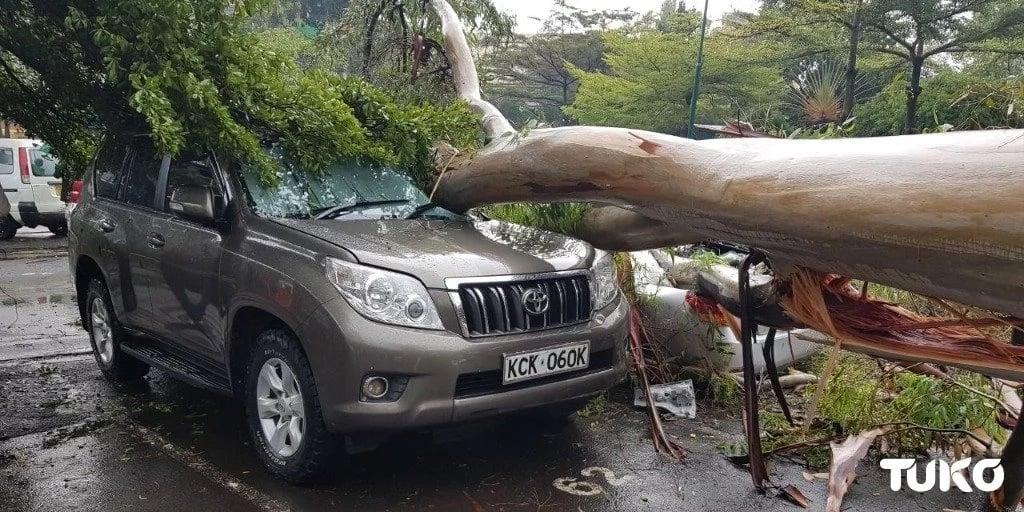 Mti wa mkaratusi waangukia na kuharibu magari kuu kuu katika hoteli ya Serena, Nairobi