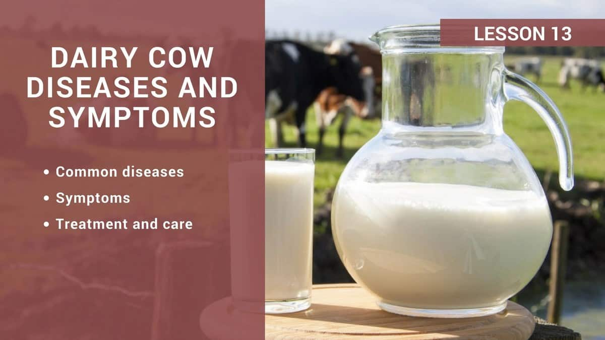 Dairy cow diseases and symptoms