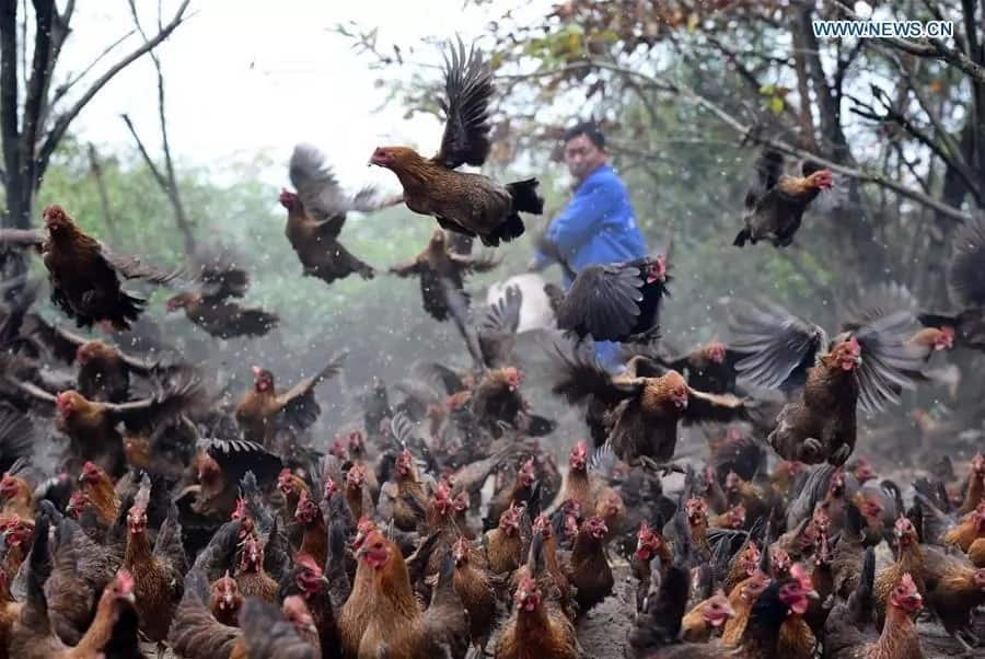 Kari Kienyeji Chicken Rearing and Breeding Guide: How to Earn from