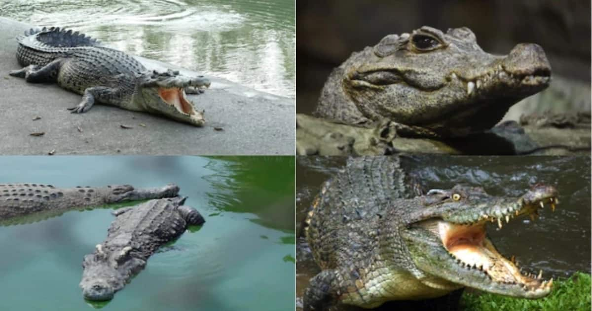 Pastor killed by crocodile while baptising followers