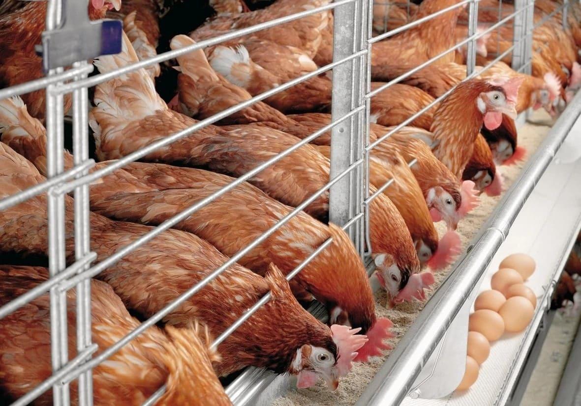 sasso chicken benefits