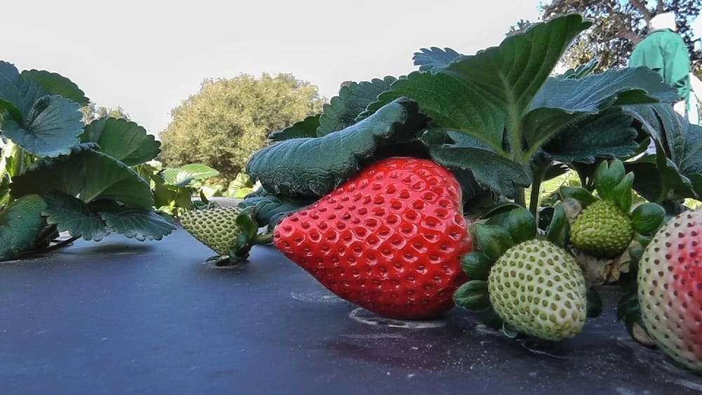 Strawberry Farming in Kenya: How to Earn from the Lucrative Investment