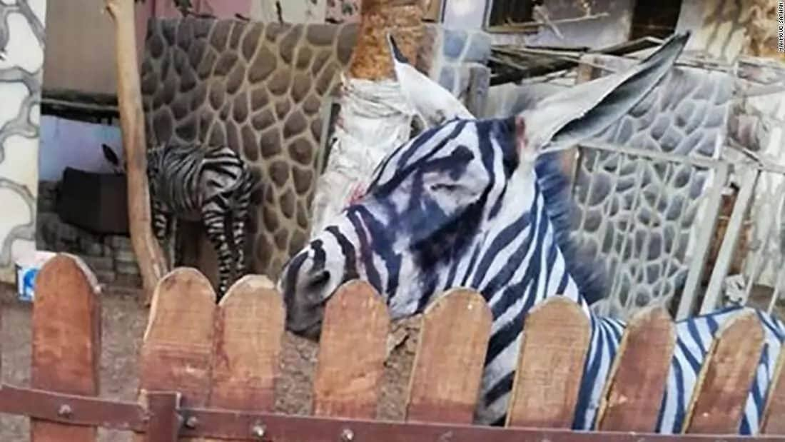 Egypt zoo accused of painting a donkey to deceive visitors for a zebra