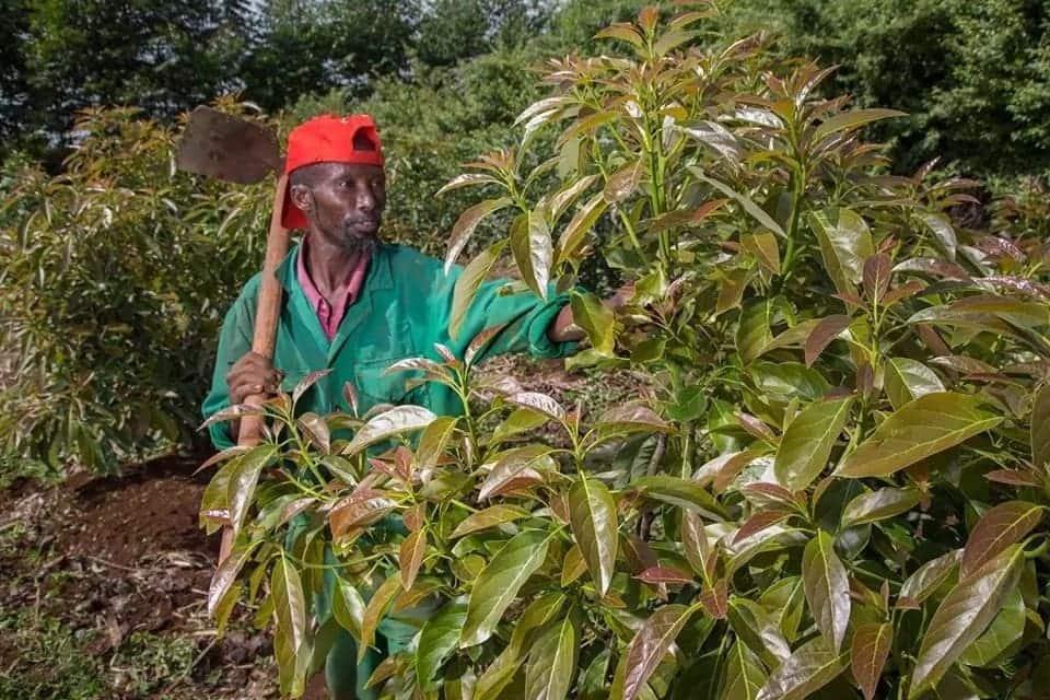 Kenya kuuza parachichi zenye thamani ya KSh 5.4 bilioni nchini Afrika Kusini