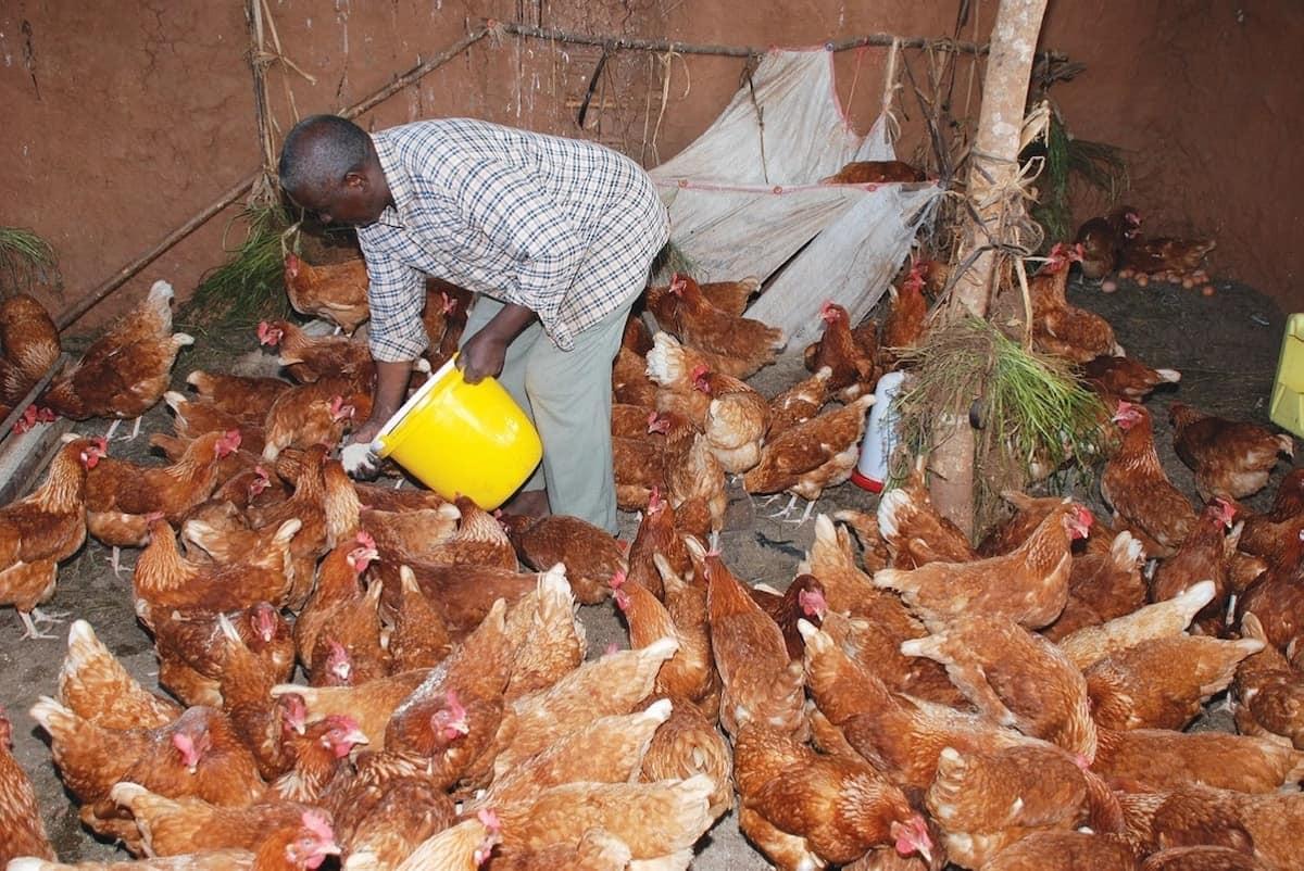 How to start poultry farming in Kenya ▷ Tuko co ke