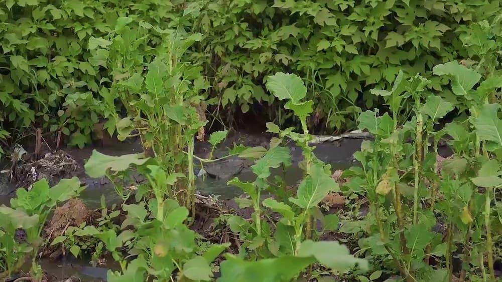 Forget about poisoned sugar, Kenyans are feeding on sukumawikis grown in deadly raw sewage