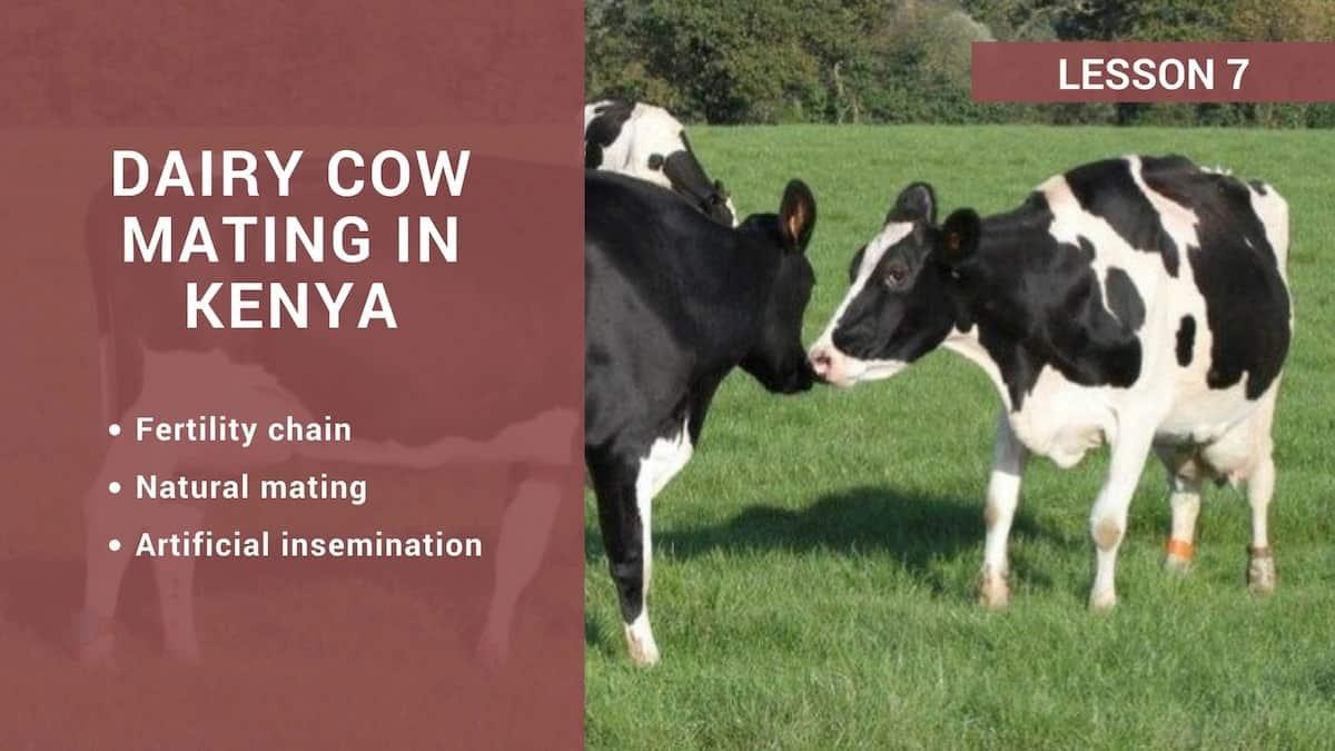 Dairy cow mating in Kenya