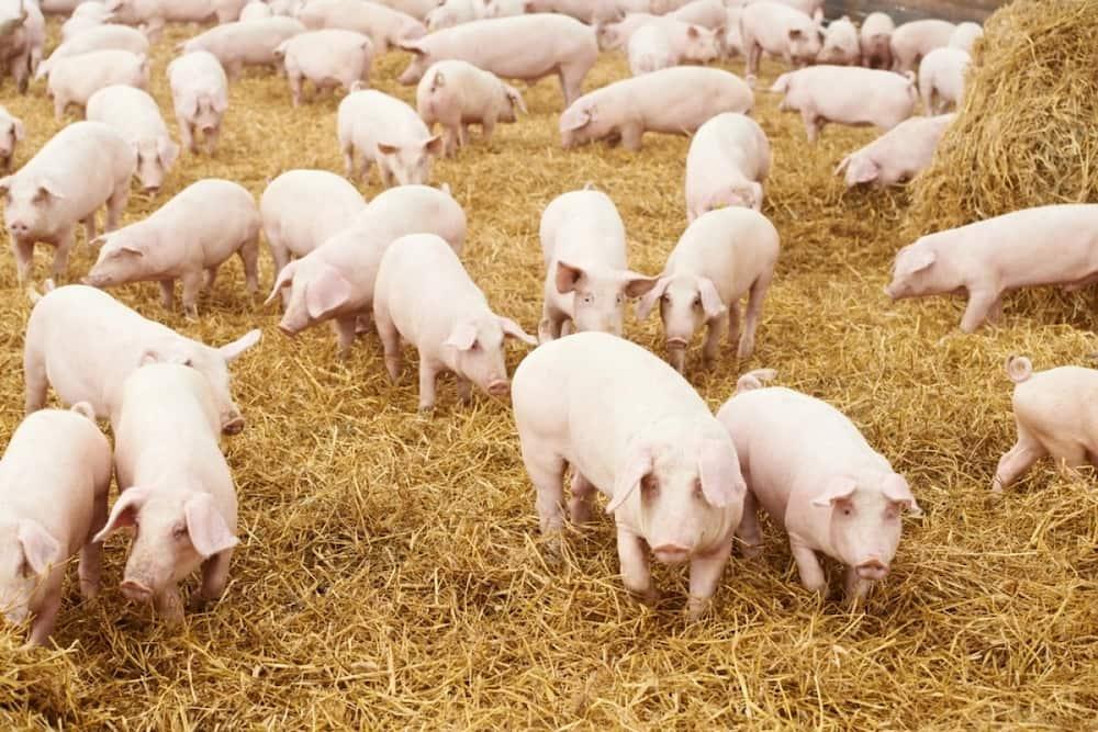 Small scale pig farming in Kenya ▷ Tuko co ke