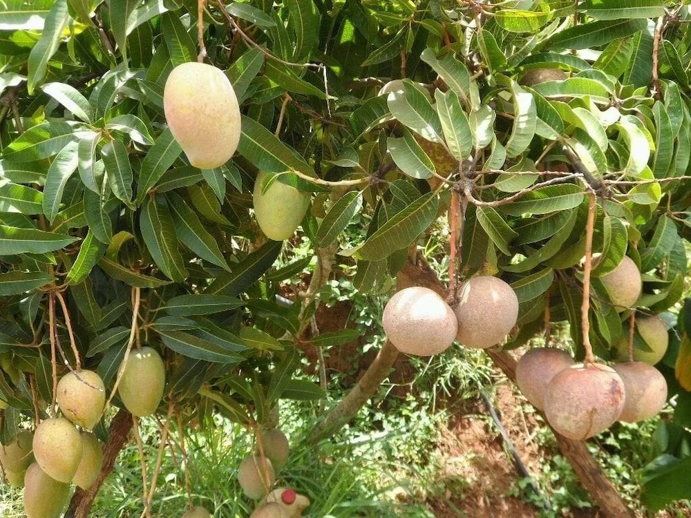 Mango varieties kenya