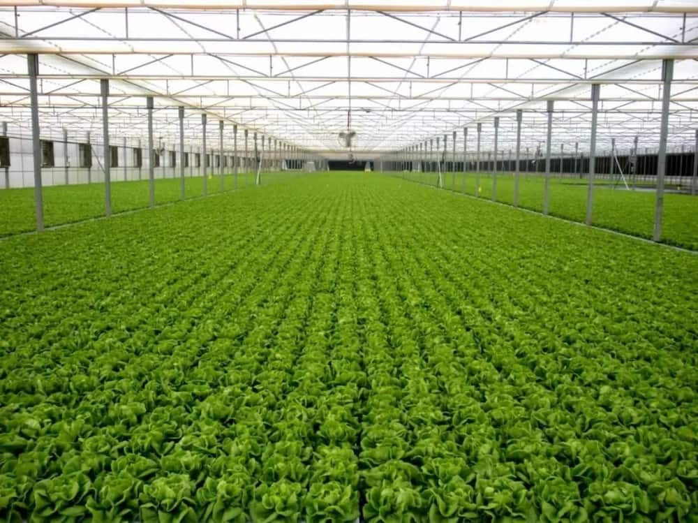 Greenhouse farming in kenya for beginners how to make it lucrative