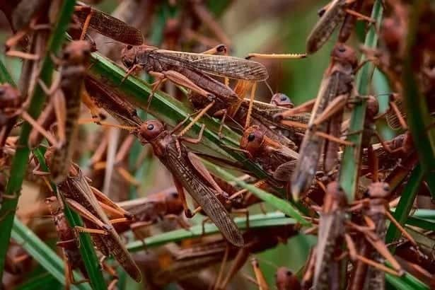Government sets aside KSh 300 million to fight locusts