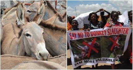 Donkey owners protest in Bomet amid soaring demand for the animal's meat, skin