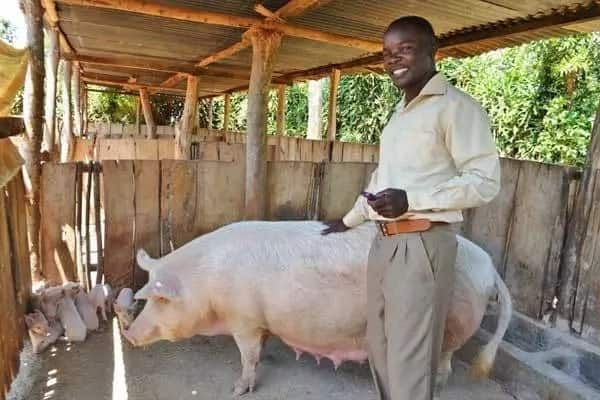 Pig farming in Kenya success stories ▷ Tuko co ke