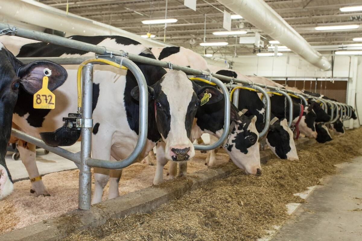 Dairy farming in Kenya - Dairy cattle breeds