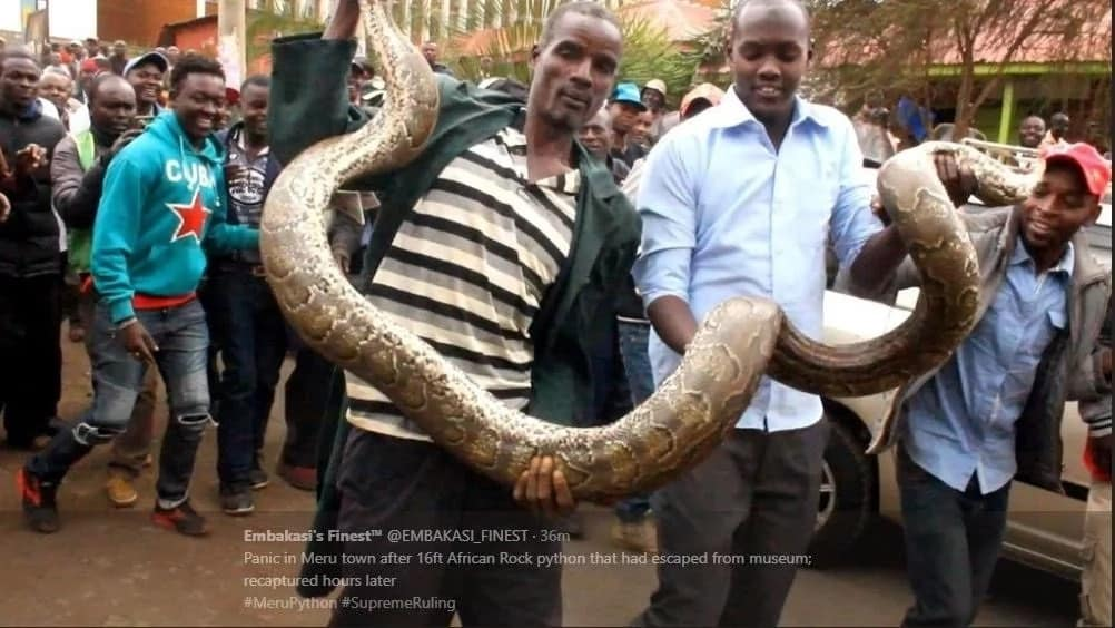 Panic in Meru after giant snake enters town (photos)