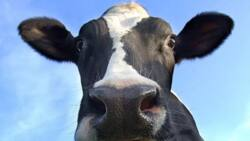 How to succeed at dairy farming in Kenya