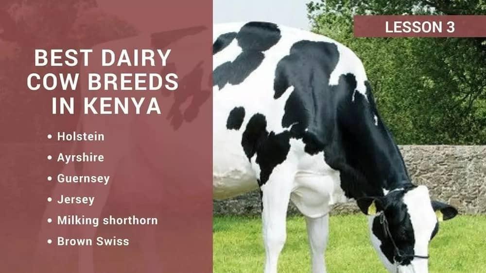 Best dairy cow breeds in Kenya ▷ Tuko co ke