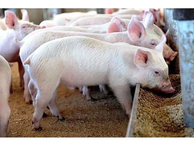 Commercial pig farming in Kenya