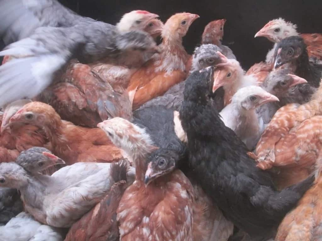 Top Kuroiler Chicken Suppliers in Kenya: Who Are the Best